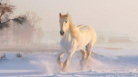 white-horse-3010129_1920
